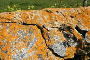 The gorgeous colour of Herm lichen