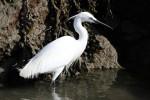 The snow white Little Egret